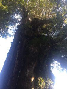 樹齢三千年クラスの杉2